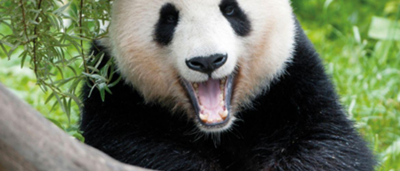 4 Grosser Panda Tiergarten Schoenbrunn Giant Panda Zoo Vienna Daniel ZupancWEB